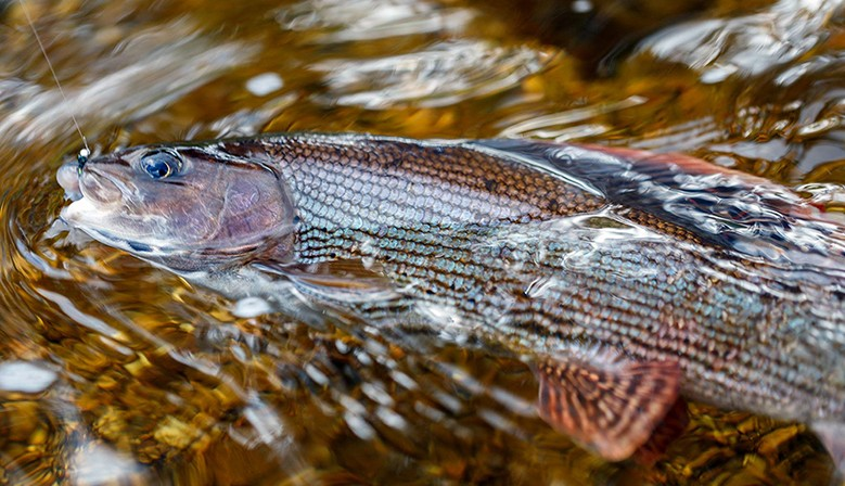Grayling from Sumava mountain river, 7/2017